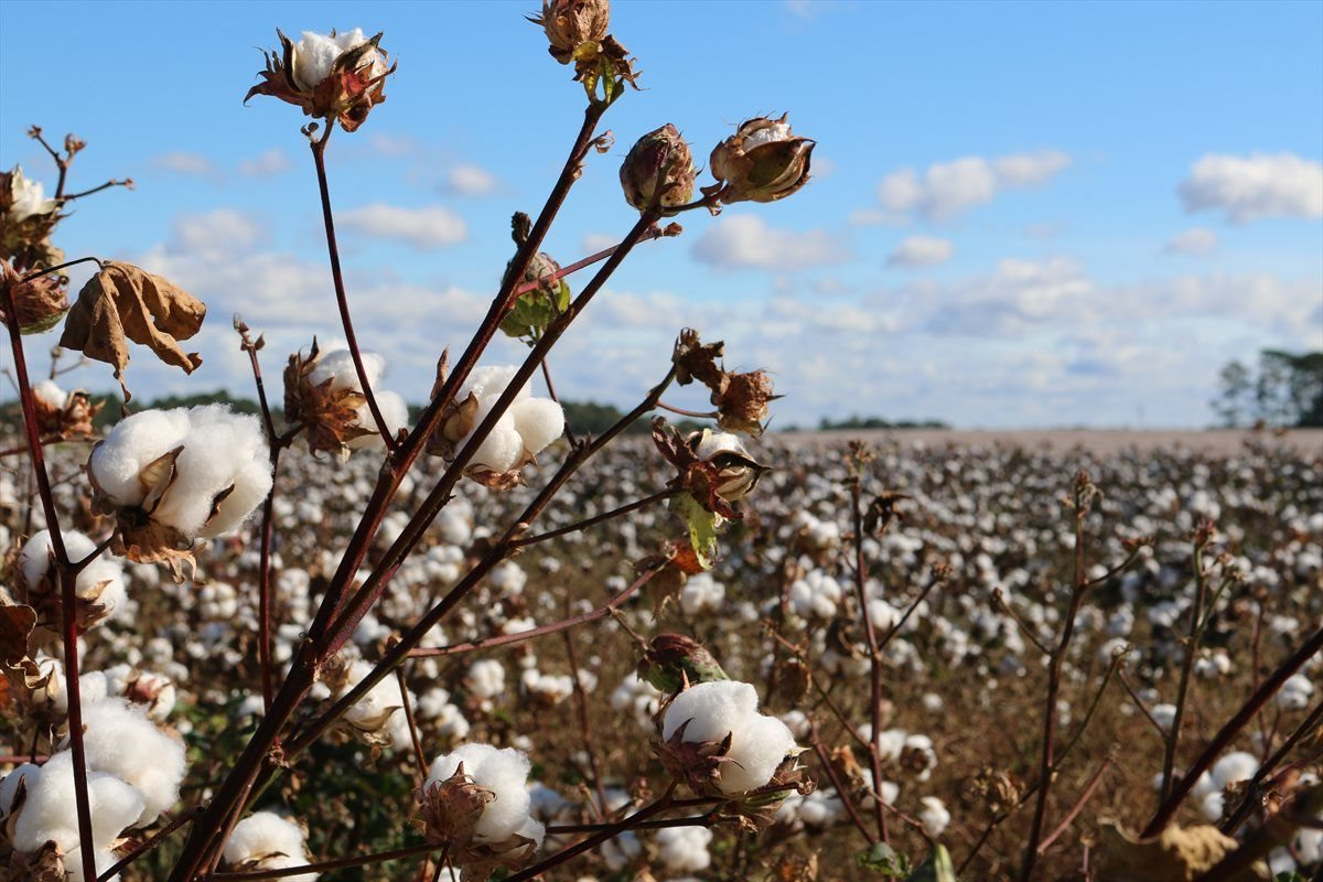 Cotton: A golden opportunity for South Africa?