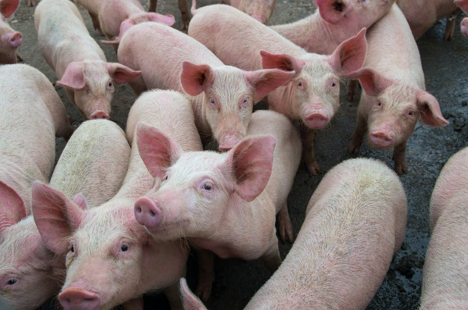 AFRICAN SWINE FEVER DISEASE OUTBREAK IN PIGS IN MFULENI