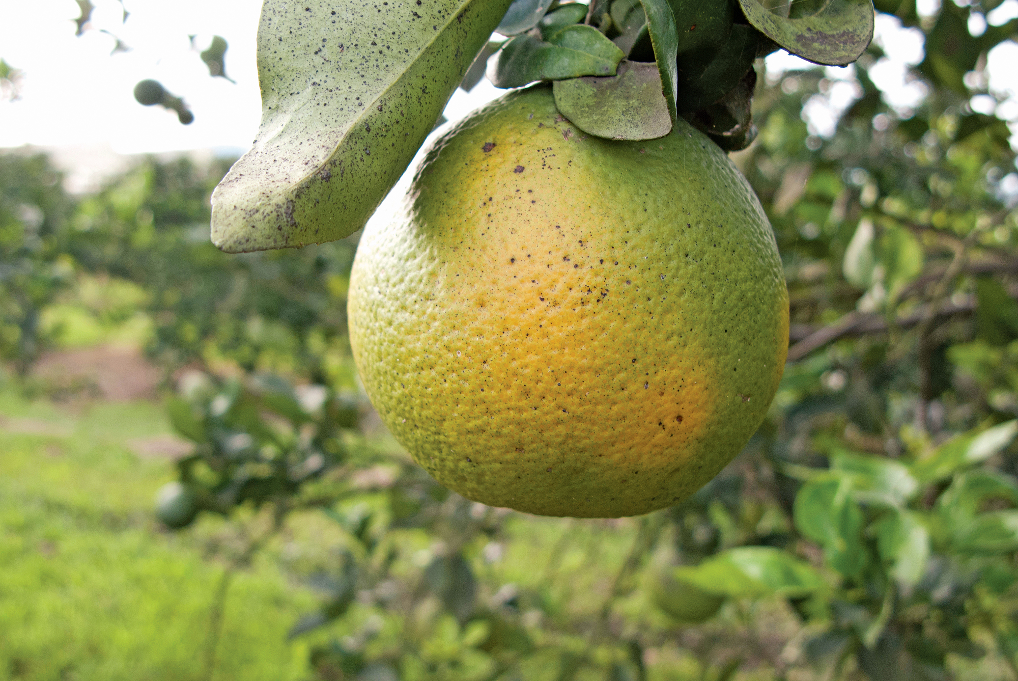 Asian Citrus Greening 'Candidatus Liberibacter asiaticus': a serious threat to the citrus industry