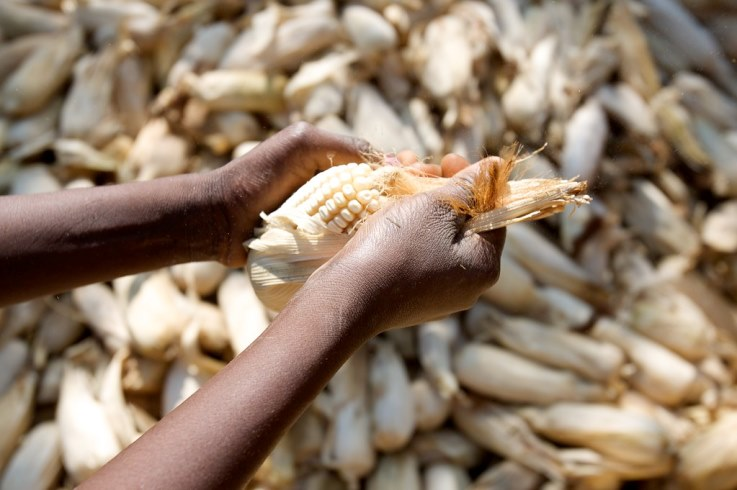 When the COVID-19 pandemic hit, concern immediately arose that sub-Saharan Africa faced a potential worsening in food insecurity. The concerns were due to the anticipated slowdown in economic activity, job losses accompanied by loss of income, and a ban on grain exports by major exporting countries, including India, Russia, Cambodia, and Vietnam. Sub-Saharan Africa is a net importer of food. The bans, along with other pandemic-related disruptions to food supply chains, were expected to add to food security challenges in the region. The World Bank was among the first multilateral institutions to sound the alarm. The bank estimated that an additional 26 million people would fall into extreme poverty, defined as those living under US$1.90 per day, in 2020. The slowdown in economic activity played out as expected, with sub-Saharan Africa's economy contracting by 1.9% in 2020, according to International Monetary Fund estimates. The economic slowdown resulted in job losses. The widespread job losses in the region subsequently led to a rise in food insecurity. This was most pronounced in Nigeria, Kenya, South Africa, Ethiopia, Uganda and Malawi, the countries for which data is available. Get your news from people who know what they're talking about. Get newsletter More than a year since the onset of the pandemic, a great many uncertainties about the economic future of the region linger on. However, sub-Saharan Africa's food security situation appears to have, thus far, turned out better than some of the more pessimistic expectations. The increase in staple grain imports in various African countries, by both governments and private sector players, combined with slightly better domestic grain production conditions in some, such as Zambia, South Africa and Tanzania, to name a few, has slightly shielded the region. Specific interventions One positive development was that the G20 discouraged major grain-exporting countries from banning exports. Domestic evaluations of supplies 