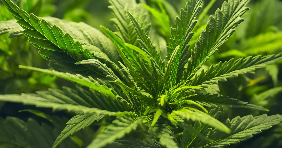 Cannabis Master Plan to be presented to Nedlac