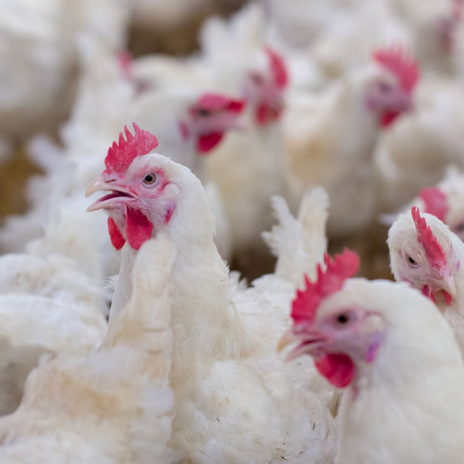 No new avian influenza outbreaks reported